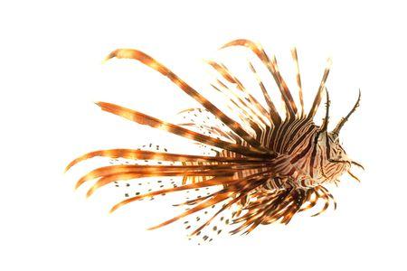 Volitan Lionfish (Pterois volitans) isolated on white background.