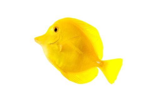 flavescens: Yellow Tang (Zebrasoma flavescens) isolated on white background. Stock Photo