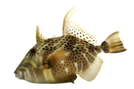 reef fish: Golden Heart Triggerfish (Balistes punctatus) on white background. Stock Photo