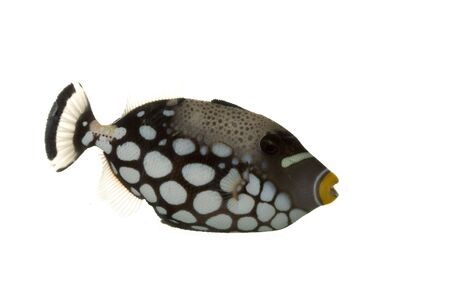 balistoides conspicillum: Clown Triggerfish (Balistoides conspicillum) isolated on white background.