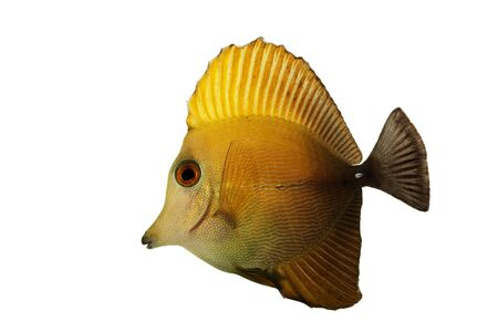 reef fish: Scopas Tang (Zebrasoma scopas) isolated on white background.