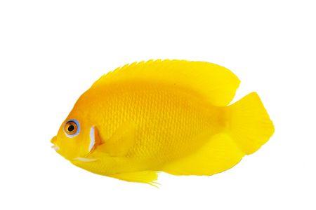 reef fish: Lemon Peel Angelfish (Centropyge flavissimus) isolated on white background. Stock Photo