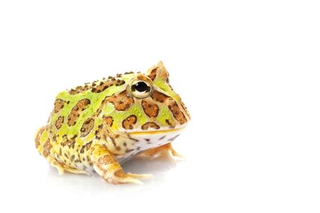 horned: Horned Frog (Ceratophrys) isolated on white background.