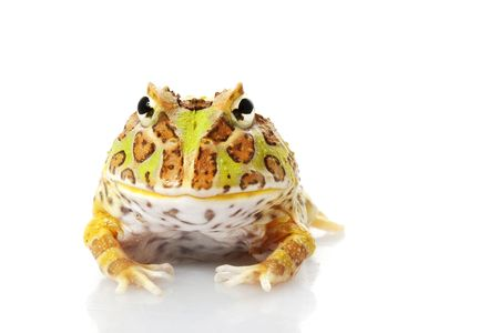 horned frog: Horned Frog (Ceratophrys) isolated on white background.