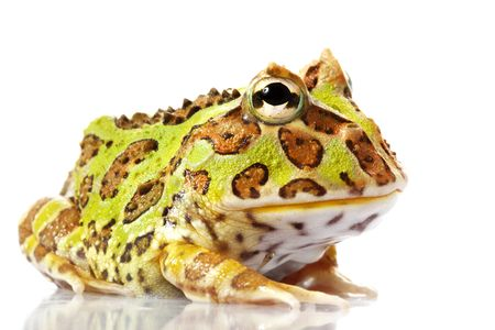 horned: Horned Frog (Ceratophrys) aisladas en el fondo blanco.