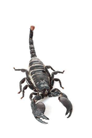 Emperor Scorpion (Pandinus imperator) isolated on white background. photo
