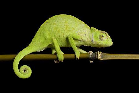 herpetology: Senegal chameleon (Chamaeleo Senegalensis) isolated on black background.