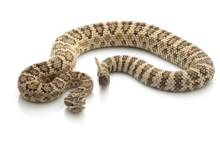 Great Basin Rattlesnake (Crotalus lutosus oreganus) isolato su sfondo bianco.