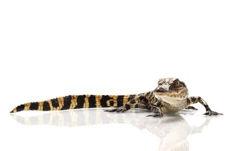 herpetology: American alligator (Alligator mississippiensis) isolated on white background. Stock Photo