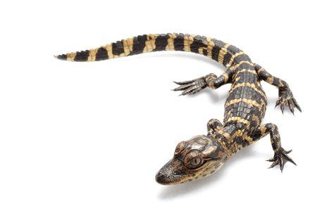 alligators: American alligator (Alligator mississippiensis) isolated on white background. Stock Photo