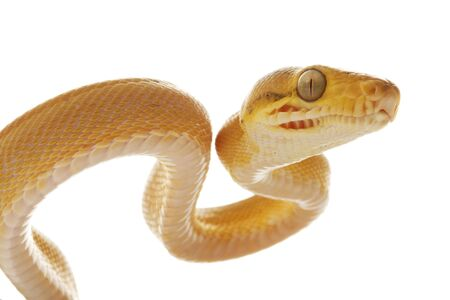 Amazon tree boa (Corallus hortulanus) isolated on white background photo