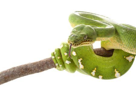 Emerald tree boa (Corallus caninus) isolated on white background Banco de Imagens