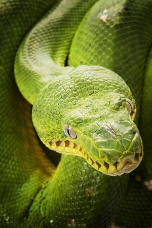 herpetology: close-up of Emerald tree boa (Corallus caninus)
