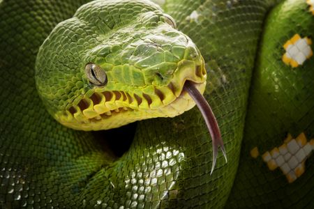 close-up of Emerald tree boa (Corallus caninus) Stock Photo - 5363068