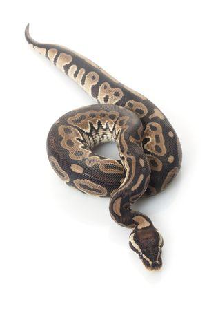 royal python: lori ball python (Python regius) isolated on white background.  Stock Photo