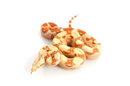 Sunglow Columbian Red-tailed Boa (B. c. constrictor) isolated on white background.