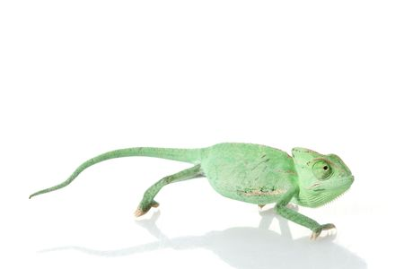 herpetology: Veiled Chameleon (Chamaeleo calyptratus) isolated on white background.