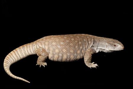 Savannah Monitor Lizard (Varanus exanthematicus) isolated on black background.
