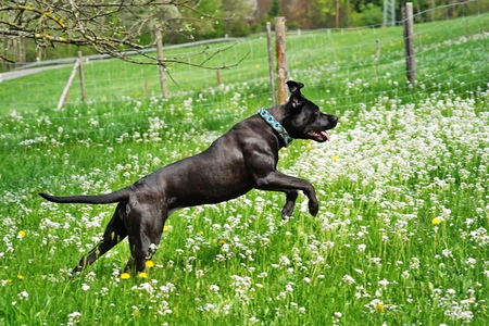 Big black dog, pure bred Cane Corso, running and jumping in meadow with flowers