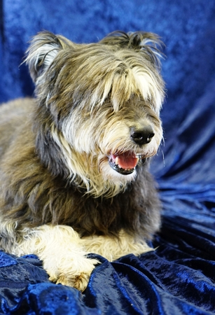 irish wolfhound, lying on blue velvet indoor, open mouth, panting, long hair covers the eyes Stock Photo