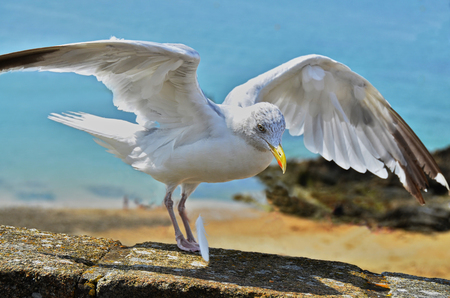seagull, landing on a stone wall, losing a feather, with blue ocean in background 版權商用圖片