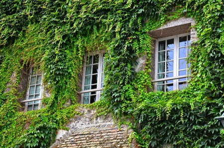 thickly sprawled ivy on the face of a building, framing an overgrowing three windows