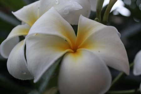 Beautiful white plumeria flowers. Фото со стока