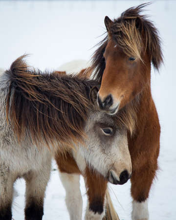 Young Icelandic Horse Mares, Best Friends