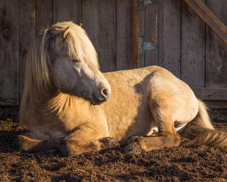 Silver Buckskin Icelandic Stallion in Morning Sun photo