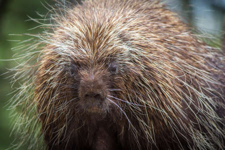 poky: Porcupine Head Detail Stock Photo