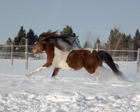 icelandic: Icelandic Stallion Galloping in Snow