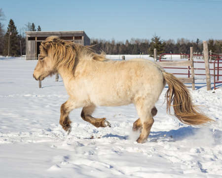 cantering horse: Icelandic Horse Cantering in Snow
