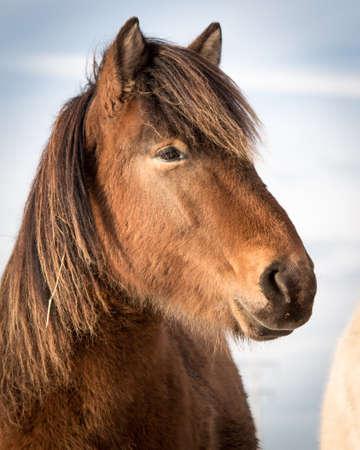 equid: Icelandic Horse Head
