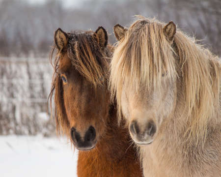 icelandic: Icelandic Horses in Winter