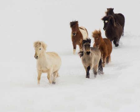 equid: Icelandic Mares Running in Snow