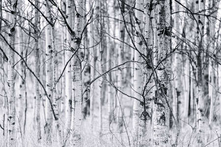 Trunks and bare branches of trembling aspen forest in early spring black and white