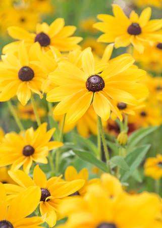 Black-Eyed Susan flowers blooming in garden in summer