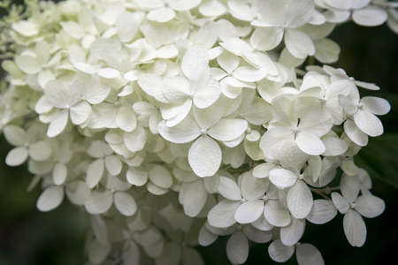 Close Up White Hydrangea Blossoms Annabelle Arborescens Stock Photo