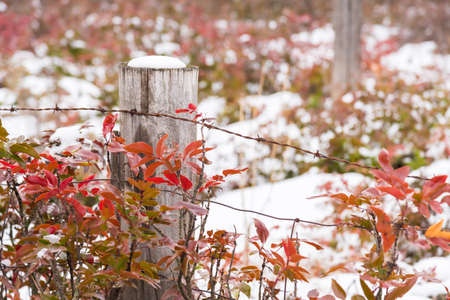 Snow-covered wooden fence post surrounded by red leaves of Oregon Grape Holly
