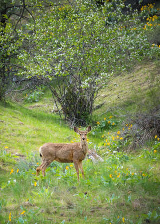 Mule deer doe standing in forest and looking at camera with green grass and blooming spring wildflowers
