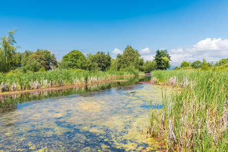 Natural marsh surrounded by reeds and deciduous trees with blue sky in summer