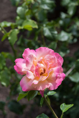 Single rose with pale yellow center and dark pink fringed petals close-up Stock Photo