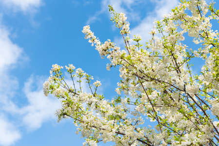 Branches covered in blooming white spring flowers against blue sky