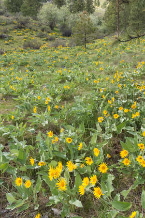 Yellow flowers of arrowleaf balsamroot growing on forested hillside