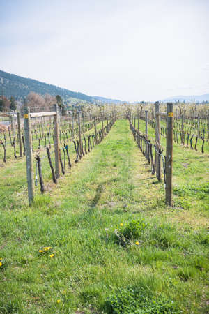 Rows of grapevines and green grass in Okanagan Valley vineyard in springtime