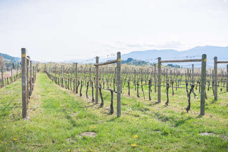 Springtime close-up view of rows of grapevines and green grass at a vineyard in the Okanagan Valley