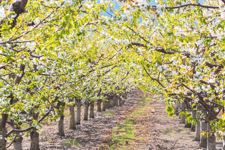 Row of orchard trees form beautiful canopy of cherry blossoms and leaves in springtime in Okanagan Valley