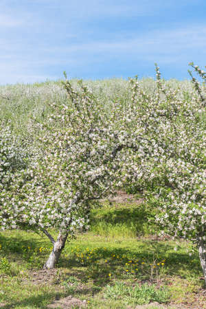 Blooming apple trees in orchard, green grass, and blue sky in Okanagan Valley