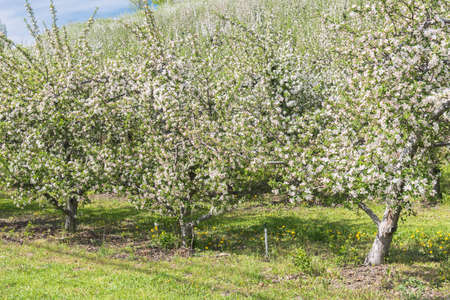 Row of orchard apple trees in bloom in springtime in Okanagan Valley 版權商用圖片