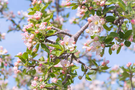 Apple blossoms on branch in orchard with blue sky background 版權商用圖片
